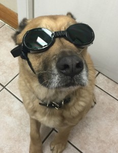 Rocky wearing doggles